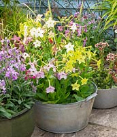 Scentsation Mix, Nicotiana in reclaimed container.