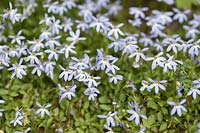 Isotoma 'Fairy Footsteps', Syn. Blue star creeper 'Fairy Footsteps' - June