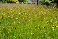 Wild flower meadow in early summer.