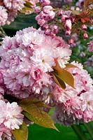 Prunus 'Pink Perfection' - Japanese Cherry in flower.