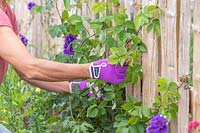 Woman tying young shoots of climbing rose to fence using twine.