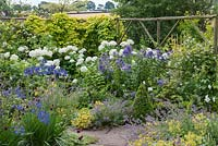Planting combination of Hydrangea arborescens 'Annabelle' with blue phlox, agapanthus and catmint. Behind, golden hop scrambles over rustic screen.