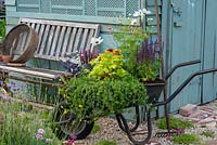 Community allotment with wheelbarrow planted with salvias, cabbages, cosmos. salvias, rudbeckias and heuchera.