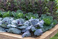 Cabbage 'Serpentine' growing between Cabbage 'Red Jewel and Kale 'Kalibos.