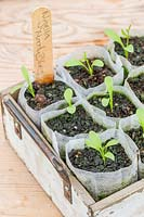 NIgella seedlings growing in bio pots.