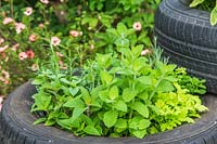 Tyre planters with mixed herbs including Bowles Mint and Feverfew