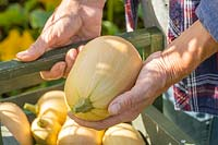 Woman placing newly harvested Butternut Squash 'Harrier' in wooden trug