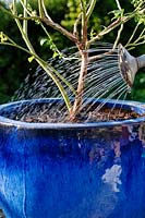 Person watering in a newly potted blueberry with watering can.