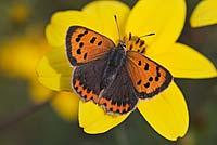 Lycaena phlaeas - Small copper Butterfly on a Bidens flower.