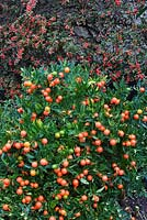 Solanum pseudocapsicum - Winter Cherry in front of trained Cotoneaster horizontalis - Wall Spray