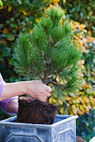 Person planting a Pinus heldreichii 'Compact Gem' into a pseudo-lead container.