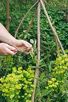 Person staking a clematis to a wigwam plant support