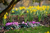 Narcissus 'February Gold' AGM and Cyclamen coum in Spring