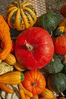 A display of different varieties of harvested Pumpkins, Squash and Gourds, including Amber squash, Pumpkin 'Rouge vif d'Etampes', Gourd Koshare Yellow Banded and Crookneck squash