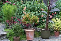 Punica granatum var nana - Dwarf pomegranate growing in a pot, surrounded by dahlias, sedum and Canna leaves.
