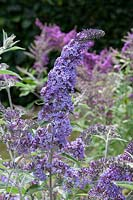 Buddleja davidii 'Summer House Blue'