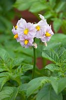 Flowers of Solanum tuberosum - Potato 'Charlotte'