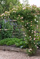 Rosa 'Phyllis Bide' - Rambling rose, is trained along a beam beside a small raised vegetable bed.
