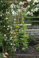 Bamboo cane wigwam planted with runner beans by flowering Rosa 'Phyllis Bide' - a rambling rose.