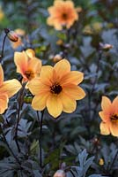 Dahlia 'Mystic Spirit' has mahogany to black coloured foliage and apricot single flowers from August.