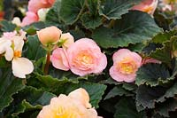 Begonia F1 'Fortune Peach Shades' - July