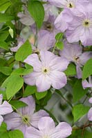 Clematis viticella 'Seabreeze'
