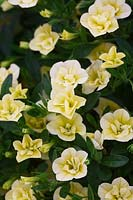 Calibrachoa Can Can Double 'Lemon' -  Million bells flower - July