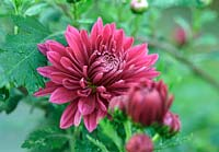 Chrysanthemum Poppin 'Rose pink' coated in frost
