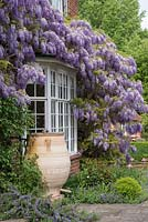 Wisteria sinensis - Chinese wisteria, a vigorous fragrant climbing plant, trained over the house.