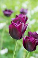 Tulipa 'Ronaldo', a maroon tulip flowering in April.