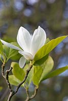 Magnolia x soulangeana 'Alba', a deciduous tree bearing large white goblet-shaped flowers from April.