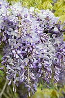 Wisteria sinensis - Chinese wisteria, a vigorous fragrant climbing plant flowering in May.