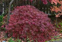 Acer palmatum var. dissectum, a dwarf Japanese maple with deeply divided leaves that turn from green to dark red and purple in autumn.
