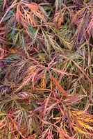 Acer palmatum var. dissectum 'Beni-Shidare', Japanese maple, has deeply dissected leaves in shades of red, gold and purple.