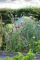 Lathyrus odoratus 'Cupani', sweet peas. Alongside, onions run to seed, producing large white flowers amidst fennel.