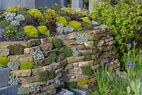 Dry stone wall with Sedums and rock plants, Iris sibirica and Geum below - The Mindset, RHS Malvern Spring Festival 2019