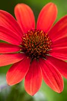 Echinacea 'Sunseekers in Tanz Coral' Eastern purple coneflower