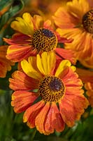 Helenium autumnale 'Sahin's Early Flowering' common sneezeweed