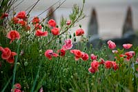 Flowering Papaver - Poppy - in coastal garden, with view to beach beyond.