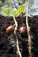 Aesculus hippocastanum - Horse chestnut seedling showing shoots and roots