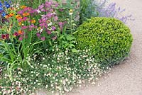 Erigeron karvinskianus Mexican fleabane Achillea Echinacea Helenium and Buxus ball by gravel path