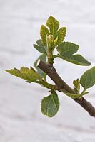 New growth stimulated by pruning on Fig 'Goutte d'Or' - Ficus carica