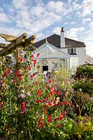 The Old Stone Cottage, Beesands, South Devon. Sweet Peas, Dahlias and Cosmos in cottage garden.