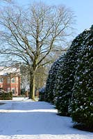 Period red brick house with Taxus baccata - large yew domes, Fagus sylvatica f. purpurea - large copper beech tree. Snow in January.