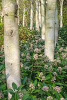 Betula utilis var. jacquemontii - West Himalayan Birch - underplanted with Skimmia