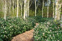 A path through a planting of Betula utilis var. jacquemontii - West Himalayan Birch - underplanted with Skimmia