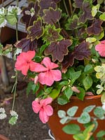 New Beacon Impatiens 2019 - Ball Colegrave busy lizzie.  Shade loving annual, new introduction, disease resistant.  Orange annual container plant.