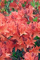 Rhododendron 'Koster's Brilliant Red' - Deciduous Azalea
