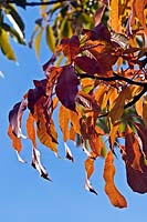 Aesculus indica - Indian Horse Chestnut - against a blue sky