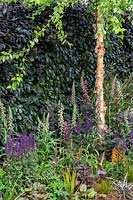 A hedge of Fagus sylvatica Atropurpurea - Copper Beech - provides a backdrop to a border with Betula nigra - River Birch tree - underplanted with perennials. RHS Hampton Court Palace Garden Festival 2019. Sponsor: Lower Barn Farm.